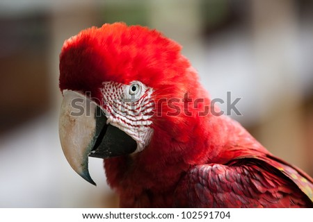 Portrait of Red-and-green Macaw in Tambopata research center