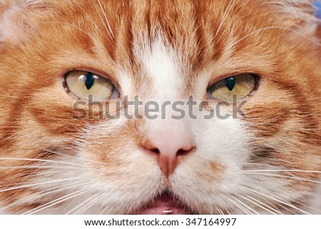 Portrait of red and white haired cat