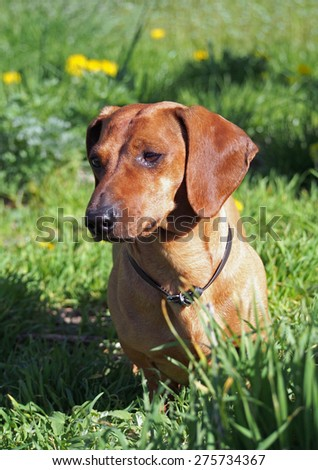 Portrait of red dachshund on spring lawn