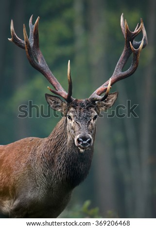 Portrait of Red Deer (Elk) stag in the natural environment.