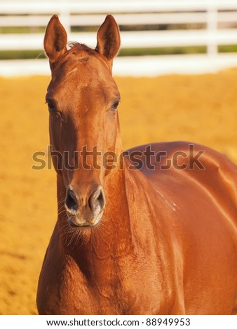 portrait of red horse  in sportive paddock