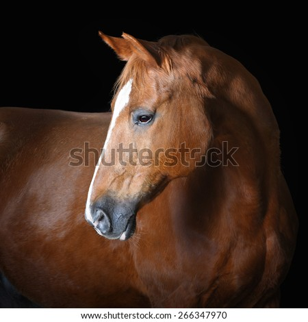 Portrait of red horse on the black background - stock photo
