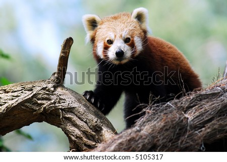 Portrait of red panda