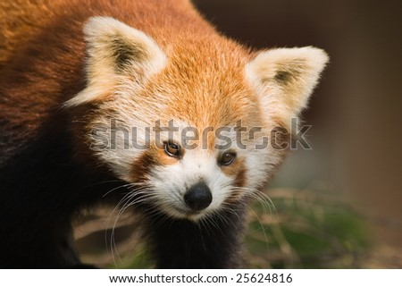 Portrait of red panda climbing in a tree - stock photo