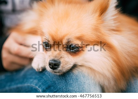 Portrait of Red Pomeranian Spitz  Small Dog Sits In Hands Of Mistress