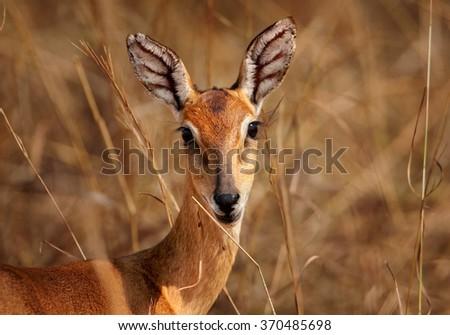 Portrait of reddish-brown antelope Kobus kob thomasi -- Uganda kob, female with big veiny ears, staring directly at camera. Dry brown blurred grass in background, young female, nice eyes. Uganda. - stock photo