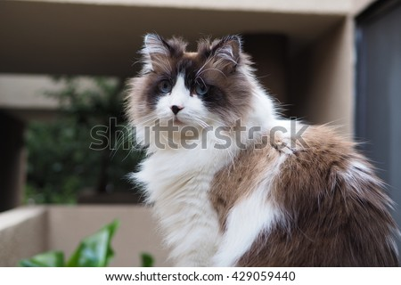 Portrait of Regal Long Hair Bi Color Brown White Ragdoll Cat with Blue Eyes and Black Button Nose and Long Whiskers Sitting on Ledge  - stock photo