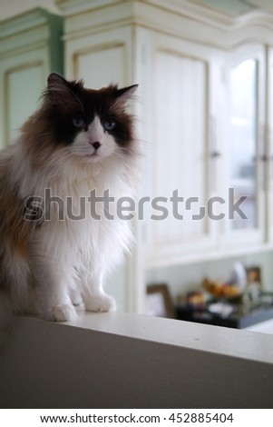 Portrait of Regal Long Haired Bi Color Brown White Ragdoll Cat with Blue Eyes and Black Button Nose Sitting on Ledge  - stock photo