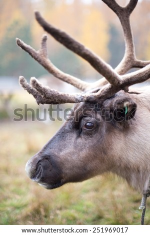 Portrait of Reindeer in the paddock on the farm