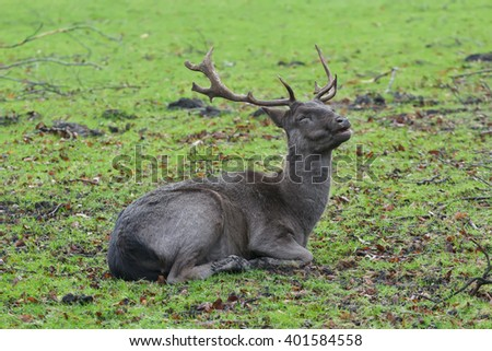Portrait of resting mature fallow deer buck with winter dark unspotted pelt - stock photo