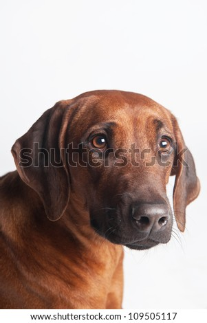 Portrait of Rhodesian Ridgeback on a white background