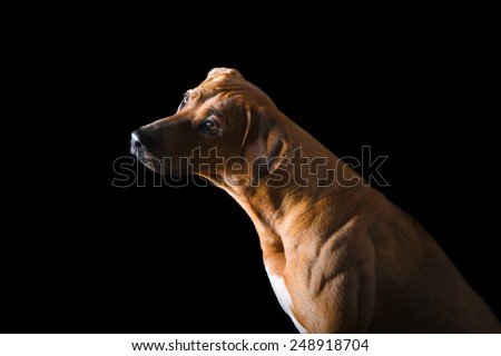 Portrait of Rhodesian Ridgeback on the black background - stock photo