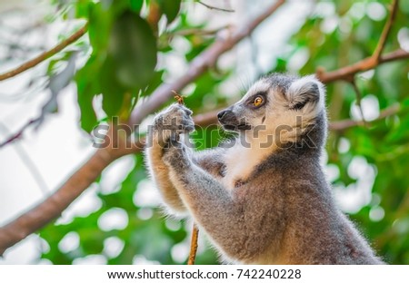 Portrait of ring-tailed lemur (lemur catta)
