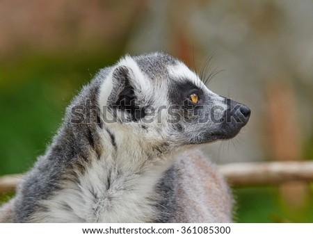 Portrait of Ring-tailed lemur (Lemur catta)  female close up - stock photo