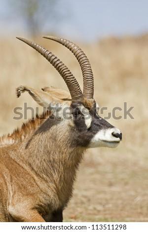 Portrait of Roan Antelope; Hippotragus equinus - stock photo