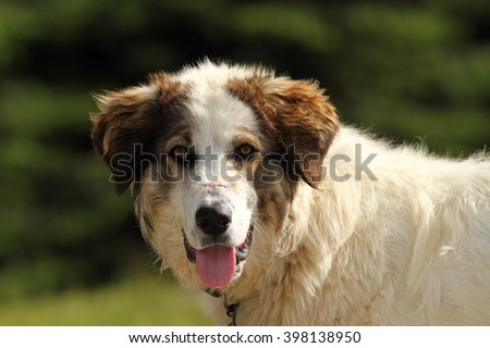 portrait of romanian shepherd dog from Apuseni mountains; the scar on its muzzle is from fighting wolves that came to eat the sheep - stock photo