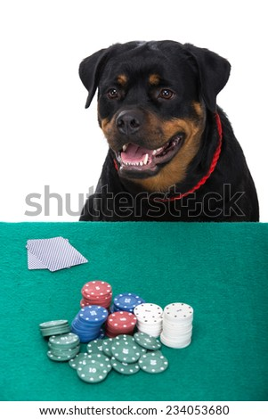 Portrait of rottweiler is  playing poker on a white background. - stock photo