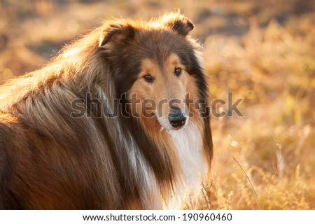 Portrait of rough collie at sunset - stock photo