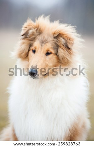Portrait of rough collie dog
