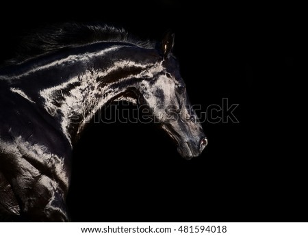 portrait of running black stallion at black backround