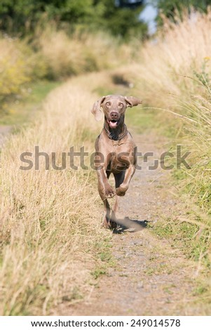 Portrait of running weimaraner dog - stock photo