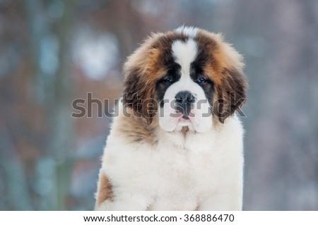 Portrait of saint bernard puppy in winter - stock photo