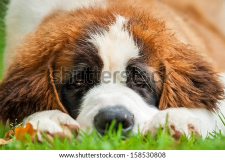 Portrait of saint bernard puppy lying on the grass - stock photo