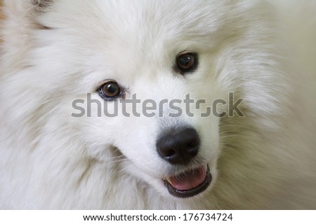 portrait of Samoyed - stock photo