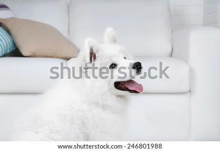 Portrait of Samoyed dog on white sofa background - stock photo