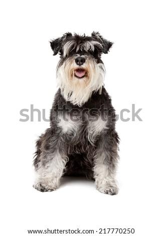 Portrait of schnauzer dog in studio - stock photo