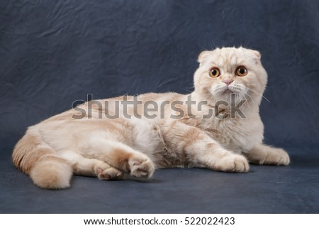 Portrait of Scottish fold cat lying in front of a blue background
