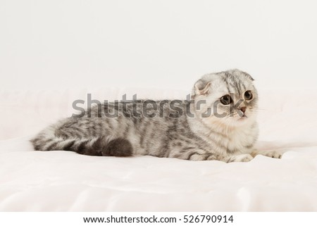 Portrait of Scottish fold cat lying on the bed, 6 months old.