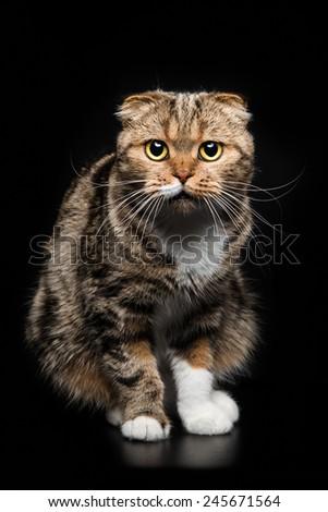 Portrait of Scottish Fold cat on a black background - stock photo