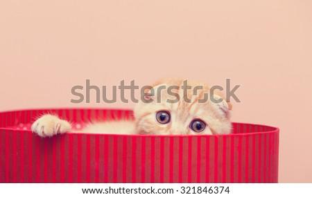 Portrait of Scottish Fold kitten in the box, closeup, on pink background - stock photo
