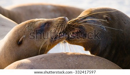 Portrait of sea lions lying on the sand in the Galapagos. Islands. An excellent illustration. Close-up.