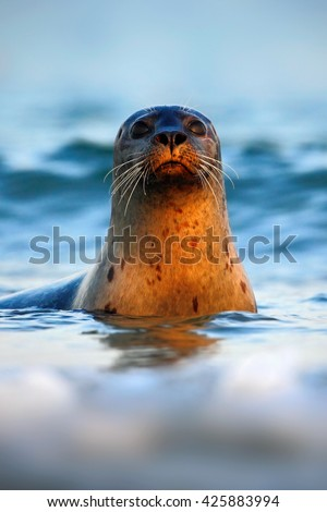 Portrait of seal in the sea. Atlantic Grey Seal, portrait in the dark blue water with morning sun. Sea animal swimming in the ocean waves, Helgoland island, Germany. Seal in the sea waves. - stock photo