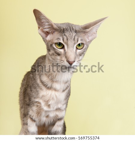 Portrait of seal tabby Siamese cat isolated over green background
