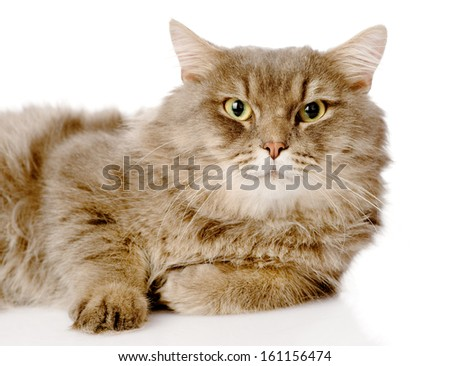 Portrait of serious adult cat. Isolated on white background - stock photo
