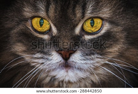 Portrait of Serious Persian Cat