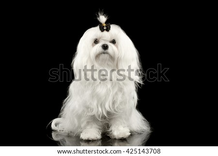 Portrait of Serious White Maltese Dog Sitting with tie Looking in Camera isolated on Black background - stock photo
