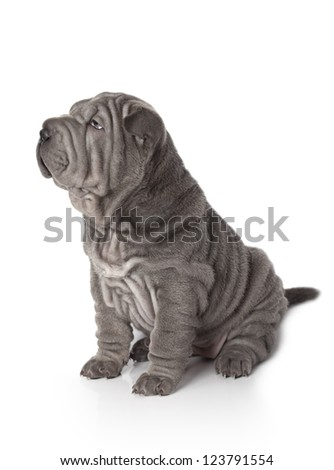 Portrait of sharpei puppy dog against white background