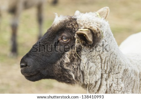 Portrait of sheep on a natural background