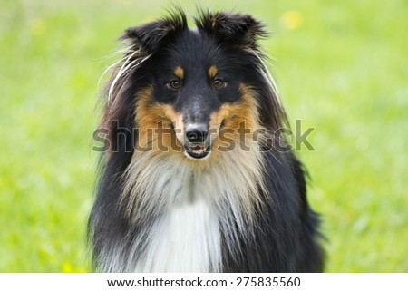 Portrait of sheltie dog on a green grassl background - stock photo