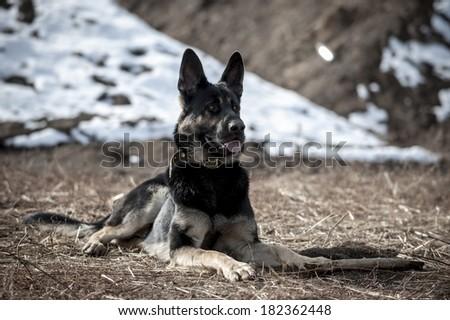 Portrait of Shepherd dog laying on dry grass horizontal - stock photo