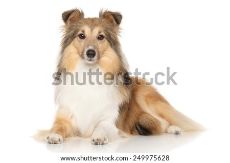 Portrait of Shetland Sheepdog lying down on white background - stock photo