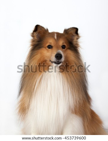 Portrait of Shetland Sheepdog on a white background - stock photo