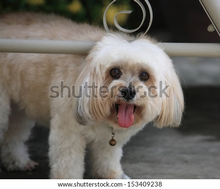 Portrait of Shih Tzu puppy