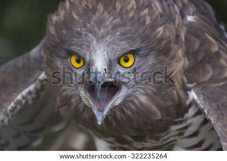 Portrait of short-toed snake eagle (Circaetus gallicus) - stock photo