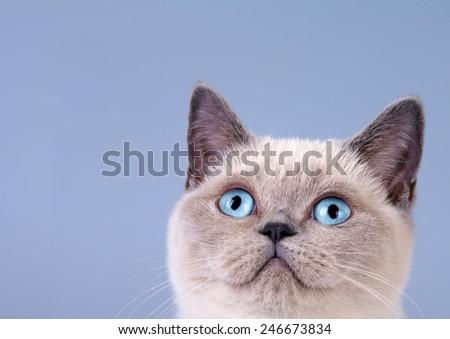 Portrait of siamese cat bottom right - stock photo