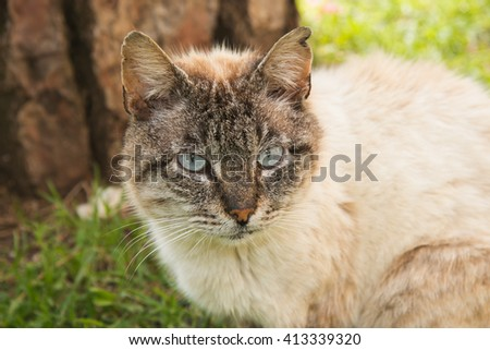 Portrait of siamese cat with beautiful blue eyes - stock photo